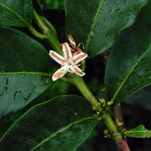 Coffea Canephora (Syn. Coffea Robusta) Seeds by World Seed Supply