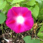 Ipomoea Tricolor (Scarlet O'Hara Morning Glory) Seeds by World Seed Supply
