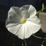 Ipomoea Tricolor (Pearly Gates Morning Glory) Seeds by World Seed Supply