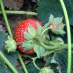 "Frageria Vesca (""Alexandria"" Strawberry) Seeds by World Seed Supply"