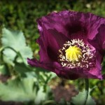 Papaver Somniferum (Zahir Poppy) Seeds by World Seed Supply