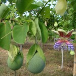 Passiflora Maliformis (Sweet Calabash) Seeds by World Seed Supply