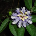 Passiflora Incarnata (Purple Passion Flower) - Live Plant by World Seed Supply