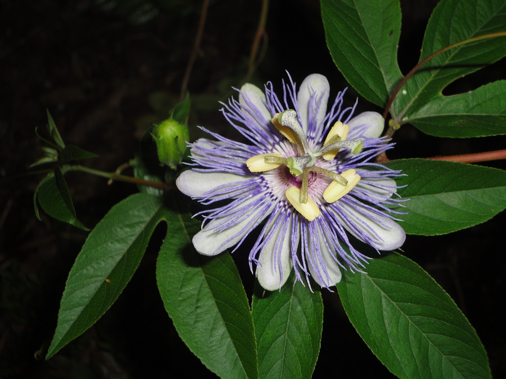 Passiflora Incarnata Plant World Seed Supply