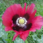 Papaver Somniferum (Pepperbox Poppy) Seeds by World Seed Supply