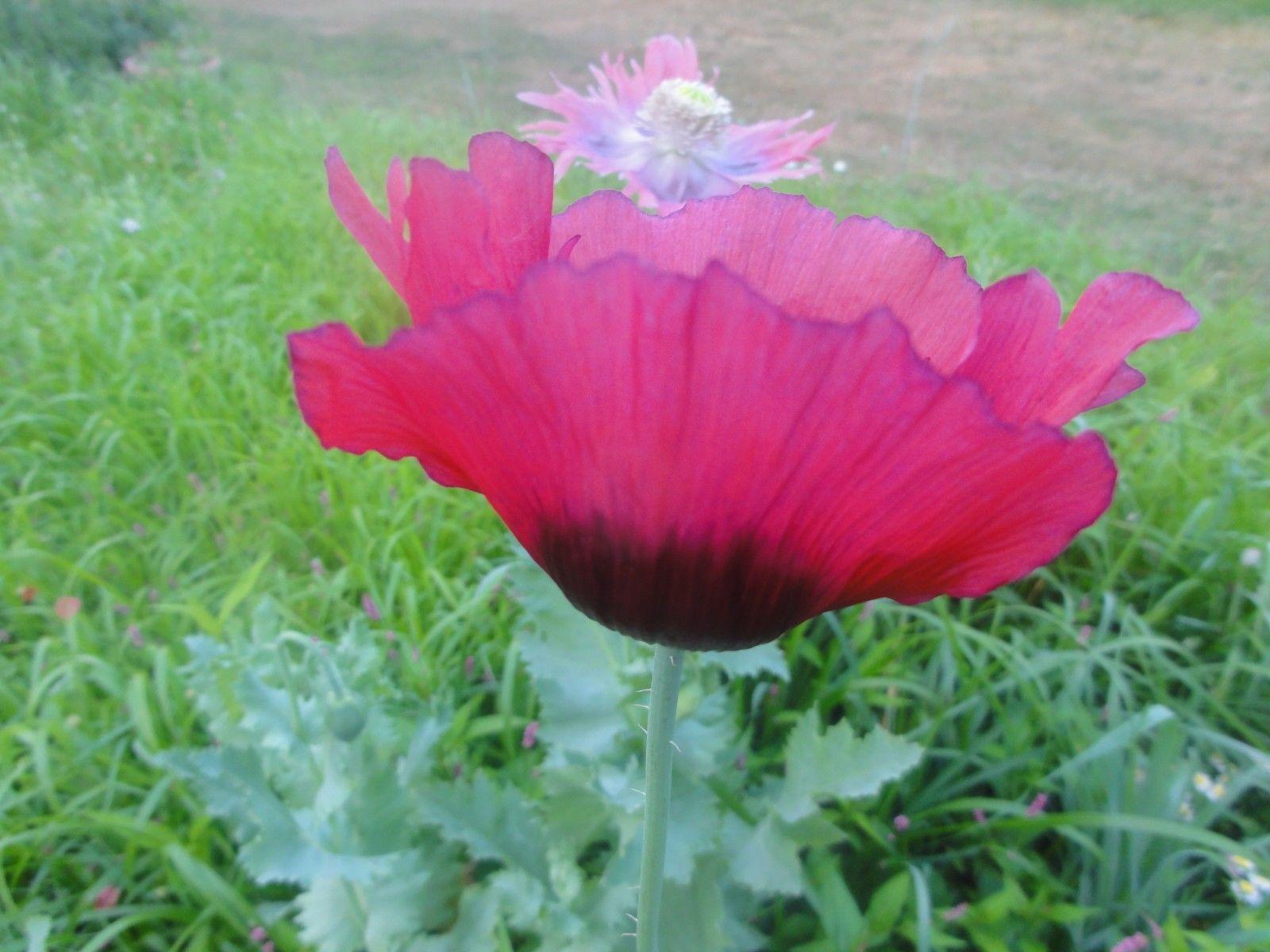 Papaver Somniferum Pepperbox Poppy Seeds