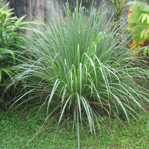 Cymbopogon Flexuosus (East Indian Lemon Grass) Seeds by World Seed Supply
