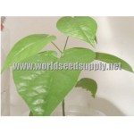 Rivea Corymbosa (Ololiuqui) - Live Plant by World Seed Supply