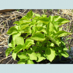 Perilla Frutescens (Green Shiso) Seeds by World Seed Supply