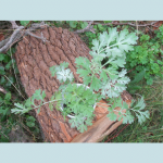 Artemisia Absinthium (Wormwood) Seeds by World Seed Supply
