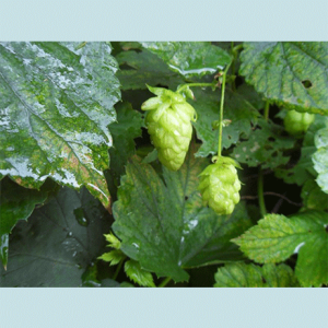 Humulus Lupulus (Hops) Seeds by World Seed Supply