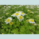Tanacetum Parthenium (Feverfew) Seeds by World Seed Supply