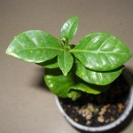 Coffea Catura (Dwarf Coffee Arabica) Seeds by World Seed Supply