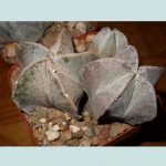 Astrophytum Myriostigma (Bishop's Cap) Seeds by World Seed Supply
