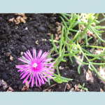 Delosperma  Cooperi (Pink Carpet Ice Plant) Seeds by World Seed Supply