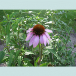 Echinacea Purpurea (Purple Coneflower) Seeds by World Seed Supply