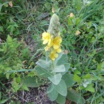 Verbascum Thapsus (Common Mullein) Seeds  by World Seed Supply