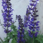 Salvia Nemerosa (Meadow Sage) Seeds by World Seed Supply