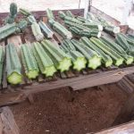 Trichocereus Pachanoi (San Pedro Cactus) - Live Plant Cutting by World Seed Supply