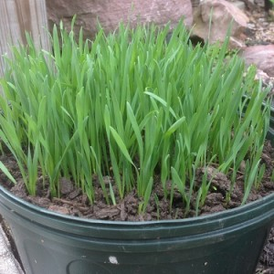 Wheat Grass Seeds by World Seed Supply