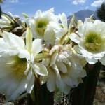 Trichocereus Peruvianus var Ancash (Peruvian Torch)  Seeds