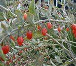 Lycium Chinense (Tibetan Goji Berry) Seeds
