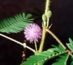 Mimosa Pudica (Sensitive Plant) Seeds
