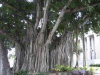 Ficus Benghalensis (Banyan Tree) Seeds
