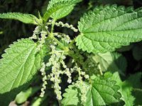 Urtica Dioca (Stinging Nettle) Seeds