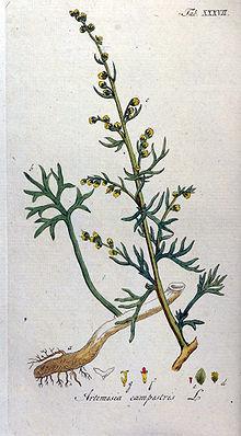Artemisia Caudata spp. Campestris  *BEACH WORMWOOD* Seeds