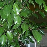 Ficus Benjamina (Weeping Fig Tree) Seeds
