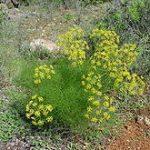 Foeniculum Vulgare (Fennel) ORGANIC Seeds