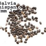 Salvia Hispanica (Chia) Seeds