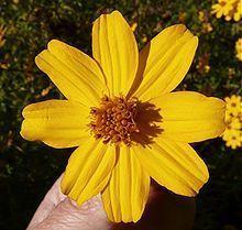 Tagetes Lucida (Mexican Mint Marigold / Mexican Tarragon) Seeds