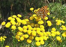 Chrysanthemum Vulgare (TANSY) Seeds