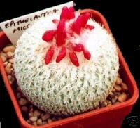 Epithelantha Micromeris (Button Cactus) Seeds