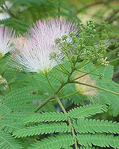 Albizzia Julibrissen    (SILK TREE MIMOSA) Seeds
