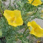 Glaucium Flavum (Yellow Horned Poppy) Seeds