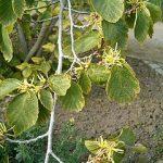 Hamamelis Virginiana (Witch Hazel) Seeds