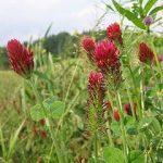 Trifolium Incarnatum (Crimson Clover) Seeds