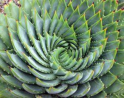 Aloe Polyphylla (SPIRAL ALOE) Seeds