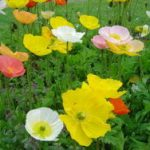 Papaver Nudicaule (Iceland' Poppy) Seeds