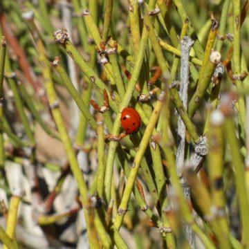 Ephedra Nevadensis (Mormon Tea) Seeds