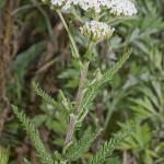 Achillea Millefolium (WHITE YARROW) Seeds