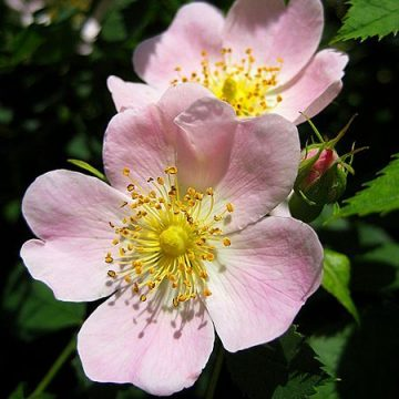 Rosa Canina (Dog Rose / Rose Hips) Seeds
