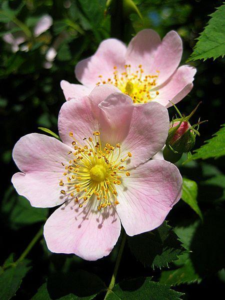 Rosa Canina (Dog Rose / Rose Hips) Seeds