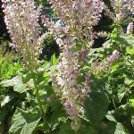 Salvia Sclarea (Clary Sage) Seeds