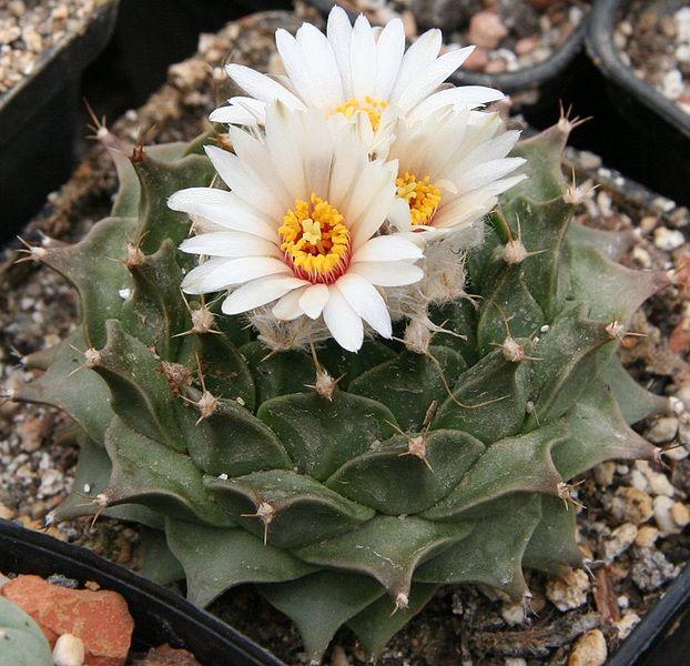 Obregonia Denegrii (Artichoke Cactus) Seeds