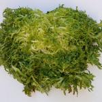 Chicorium Endiva (ENDIVE) Seeds