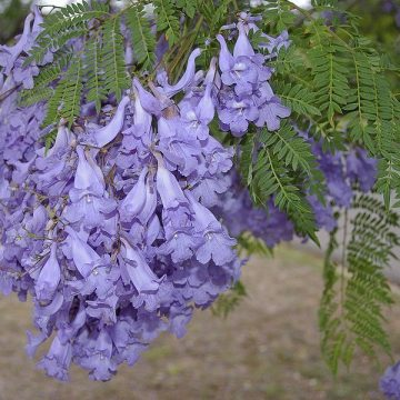 Jacaranda Mimosifolia (Black Poui Tree) Seeds